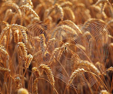 Spindelnät i sädesfält