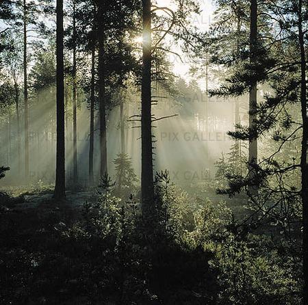 Soluppgång i skogen