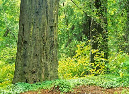 Redwoods nationalpark, USA