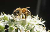 Nektarsugande bi