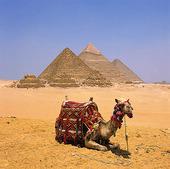 Kamel vid pyramiderna i Giza, Egypten