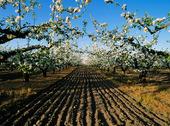 Äppelodling