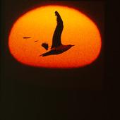 Fiskmås i solnedgång