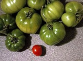 Röd gröna tomater