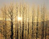 Solen i vinterträd