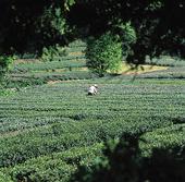 Tebladsplockare, Kina