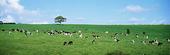 Kor i landskap