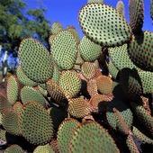 Guldopuntia, Kaktus