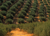 Olive-growing, Greece