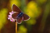 Fjäril - liten Blåvinge