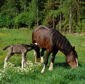 Häst med föl