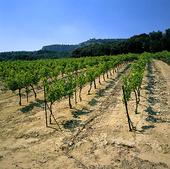 Vinodling i Provence, Frankrike