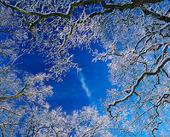 Frostiga vinterträd