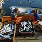 Fiskare rensar fisk