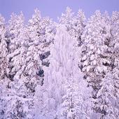 Frostiga träd