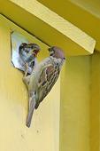 Pilfink och fågelunge