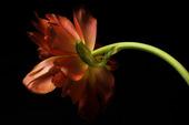 Tulpan, Tulipa gesneriana