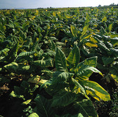 Tobacco growing, Spain