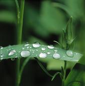 Vattendroppar på Irisblad