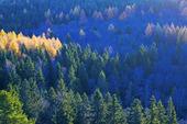 Skog i morgonljus
