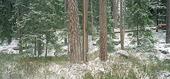 Barrskog på vintern