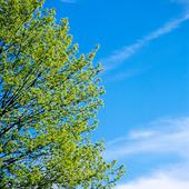 Trädkrona mot blå himmel