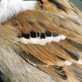 Fjäderdräkt på gråsparv