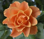 Orange ros
