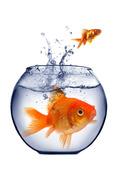 Liten och stor guldfisk