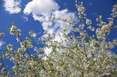 Hagtorn som blommar