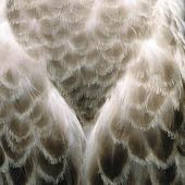 Fjäderdräkt på gråtrut
