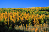 Coniferous forest. Inner Mongolia. China