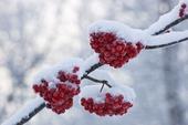 Snö på rönnbär