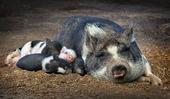 Gris med griskulting