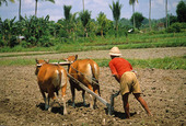 Agriculture in Indonesia