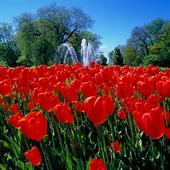 Tulpaner i park