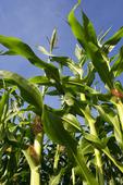 Maize Cultivation.