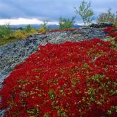 Ripbär i Stora Sjöfallets nationalpark, Lappland