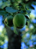Päronträd