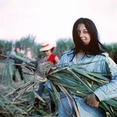Female harvests sugar cane, Cuba