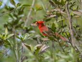 Kardinal (Cardinalis cardinalis)