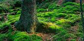 Mossa runt barrträd