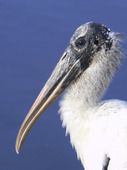 Wood Stork (americana Mycteria)