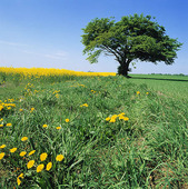 Träd i landskap