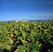 Tobaksodling, Spanien