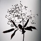 Växtriket