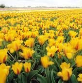 Growing tulips, Netherlands