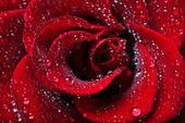 Daggdroppar på ros