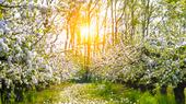 Blommande äppelträd på våren