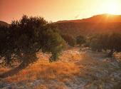 Olivträd, Grekland